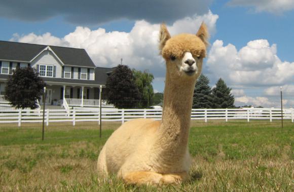 white-alpaca-slider-image