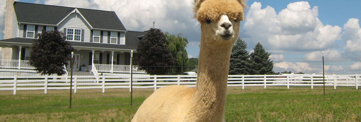 white alpaca laying in a green grass field with blue sky